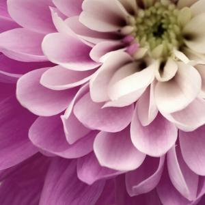 Close up of Pink Flower by Tom Quartermaine