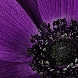 Close up of Purple Flower by Tom Quartermaine