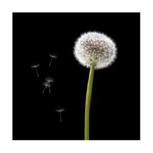 Dandelion with Seeds by Tom Quartermaine