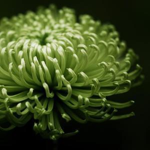 Green Chrysanthemum on Black by Tom Quartermaine