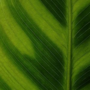 Green Leaf Close up 1 by Tom Quartermaine