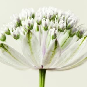 Interesting Astrantia Flower by Tom Quartermaine