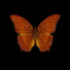 Orange Butterfly on Black by Tom Quartermaine