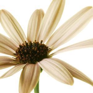 Osteospurmum  on White 01 by Tom Quartermaine