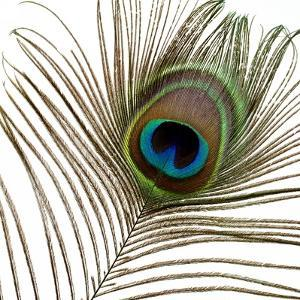 Peacock Feather 01 by Tom Quartermaine