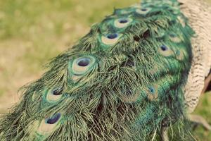 Peacock Feather Tail 01 by Tom Quartermaine