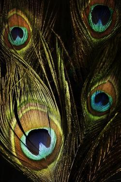 Peacock Feathers 03 by Tom Quartermaine