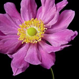 Pink Flower on Black 01 by Tom Quartermaine
