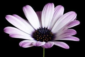 Pink Osteospurmum Black 04 by Tom Quartermaine