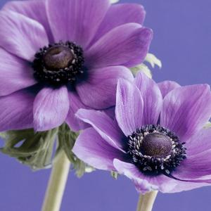 Purple Anemones on Blue by Tom Quartermaine