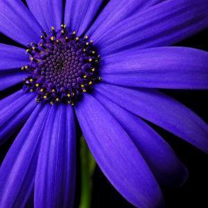 Purple Flower on Black 02 by Tom Quartermaine