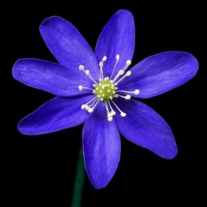 Purple Flower on Black by Tom Quartermaine