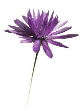 Purple Flower on White 02 by Tom Quartermaine