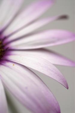 Purple Osteospurmum Gray by Tom Quartermaine