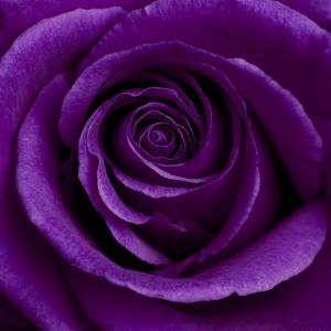 Purple Rose 01 by Tom Quartermaine