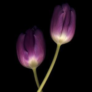 Purple Tulips on Black 02 by Tom Quartermaine