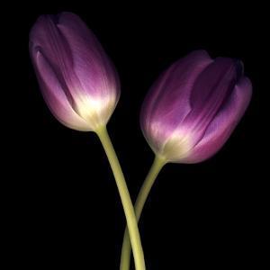 Purple Tulips on Black 03 by Tom Quartermaine
