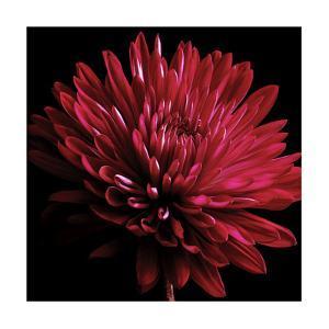 Red Chrysanthemum on Black by Tom Quartermaine