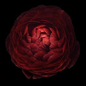 Red Flower on Black 05 by Tom Quartermaine