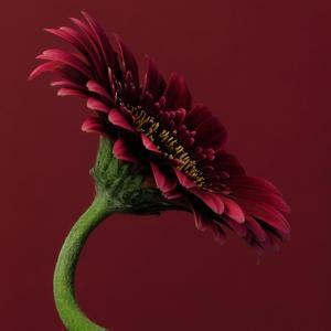 Red Gerbera on Red 05 by Tom Quartermaine