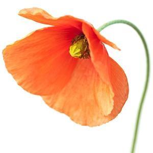 Red Poppy On White 01 by Tom Quartermaine