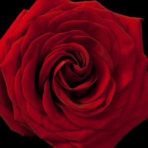 Red Rose 04 by Tom Quartermaine