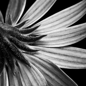 Reverse Of Flower Bw by Tom Quartermaine