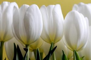 Row Of White Tulips On Yellow by Tom Quartermaine