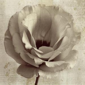 Sepia Flower on Sepia 02 by Tom Quartermaine