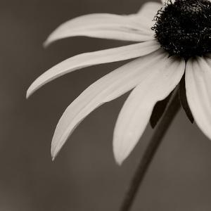 Sepia Flower on Sepia by Tom Quartermaine