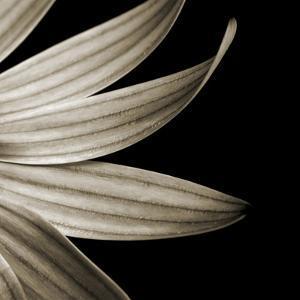 Sepia Petals on Black by Tom Quartermaine