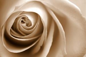 Sepia Rose 01 by Tom Quartermaine