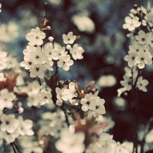 Spring Blossom on Tree 003 by Tom Quartermaine