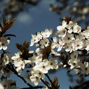 Spring Blossom on Tree 004 by Tom Quartermaine
