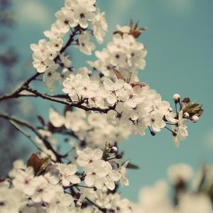 Spring Blossom on Tree 005 by Tom Quartermaine