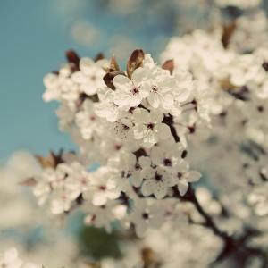 Spring Blossom on Tree 006 by Tom Quartermaine