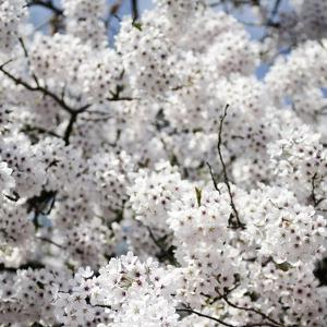 Spring Blossom on Tree 008 by Tom Quartermaine