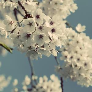 Spring Blossom on Tree 009 by Tom Quartermaine