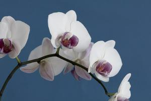 White Orchids on Blue by Tom Quartermaine