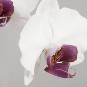 White Orchids on Grey by Tom Quartermaine
