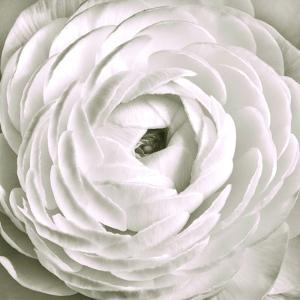 White Rannunculus Close up by Tom Quartermaine