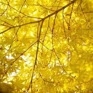 Yellow Fall Leaves 007 by Tom Quartermaine