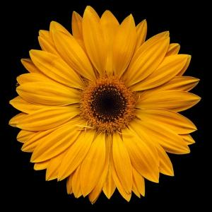 Yellow Flower on Black by Tom Quartermaine