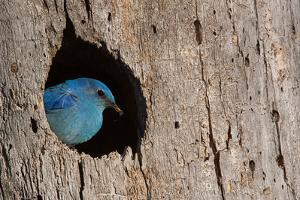 Mountain Bluebird, Sialia Currucoides, Male at Nest Hole at a Cavity in a Ponderosa Pine Tree in Th by Tom Reichner