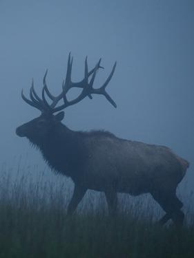 Trophy Bull Elk with Huge Record Class Antlers, in Fog and Mist, in Western Pennsylvania near Benez by Tom Reichner