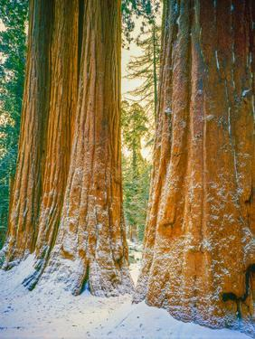 Sequoia Images, Snow, Sierra Nevada Mountains by Tom Till