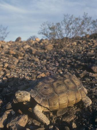 Desert Tortoise (Gopherus Agassizii) a Threatened Species, Mojave Desert, California, USA
