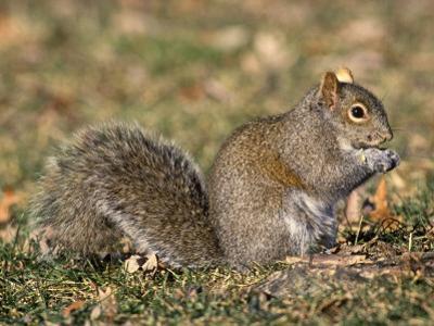 Eastern Gray Squirrel Eating a Seed (Sciurus Carolinensis), Eastern USA