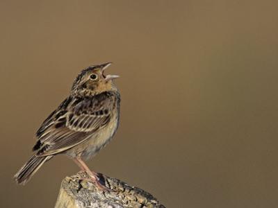 Grasshopper Sparrow (Ammodramus Savannarum) Singing, Eastern USA
