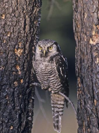 Northern Hawk Owl (Surnia Ulula), USA